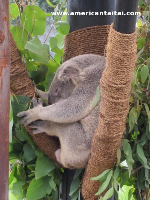 Sleepy Koala att